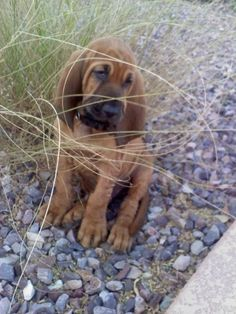 Henry at 2 months old...Bloodhound puppies are so cute. our-big-dogs