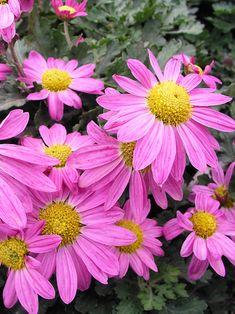 Mum-Daisy Lavender --  Bluestone Perennials
