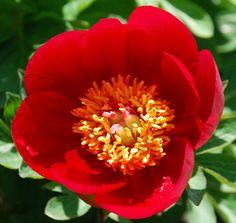 Klehm's Song Sparrow Farm and Nursery--Rock Garden Peonies--'Toy Delight'
