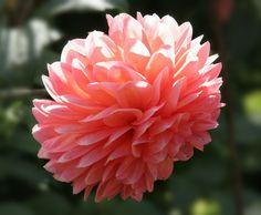 Landscape: Dahlia Flowers   pink with yellowy/orangey undertones