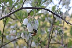 Working bee and blueberry flowers in Oct 2014 at Lavender Backyard Garden, Hamilton, New Zealand