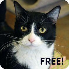 Walnut Creek, CA - Domestic Shorthair. Meet Clark a Cat for Adoption.