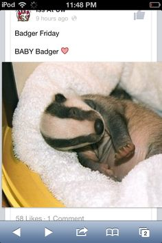 I feel like badger babies have not gotten their credit as a cute internet animal. Now you just have to try not to think of them as the blood-thirsty, snarling, vicious animals they grow into. Baby Badger, Honey Badger, Cute Baby Animals, Animals And Pets, Wild Animals, Animal Pictures, Cute Pictures, Animals Of The World, Funny Animal Videos