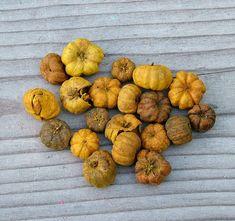 Őszi dekorációkhoz ideális ez a mini tök formájú száraz termés.