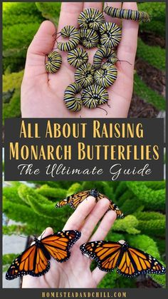Read along to learn how to attract monarch butterflies to your garden, safely ra. - Read along to learn how to attract monarch butterflies to your garden, safely raise monarch caterpi - Butterfly Garden Plants, Butterfly Feeder, Butterfly House, Simple Butterfly, Roses Garden, Fruit Garden, Flowers For Garden, Monarch Butterfly Habitat, Monarch Butterfly Tattoo