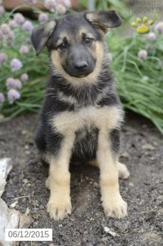 German Shepherd Puppy For Sale In Indiana Buckeyepuppies