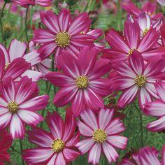 Cosmos Seeds - COSIMO PURPLE RED-WHITE - Cosmos Bipinnatus - 25 Seeds | eBay
