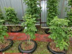 Один опыт выращивания малины — 6 соток