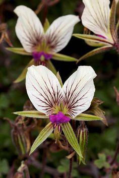 Pelargonium praemorsum speciosum