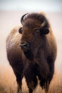 This is a Bison, the settlers called it Buffalo because of them looking similar to the real Buffalo. Bison live only in North America and Buffalo live in Asia and Africa. The Animals, Wild Animals, Vida Animal, Mundo Animal, Animal Bufalo, Beautiful Creatures, Animals Beautiful, American Bison, American Legend