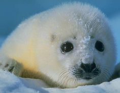 I don't care how trendy the coat is - how could anyone hurt this precious baby harp seal to make a collar? Baby Harp Seal, Baby Seal, Mundo Animal, My Animal, Animals And Pets, Funny Animals, Arctic Animals, Cute Seals, Seal Pup