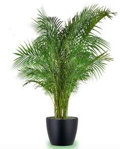 Indoor palm trees silk palm trees best large indoor plants tall houseplants for home and offices Indoor Palm Trees, Large Indoor Plants, Indoor Palms, Tall Plants, Indoor Outdoor, Artificial Plant Wall, Artificial Flowers, Palm House Plants, Order Plants Online