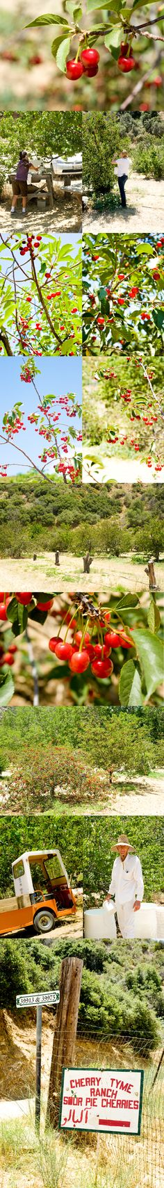 sour cherry picking at cherry tyme orchard in leona valley