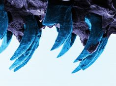 Move over, spider silk. Turns out you're not the toughest natural material out there. Though spider silk has long been considered the world's strongest biological material, new research shows that the tiny teeth of limpets -- small aquatic snail-l. Tech Image, Electron Microscope Images, Microscope Pictures, Article Of The Week, Spider Silk, Spider Webs, Microscopic Images, New Scientist, Material Science