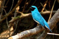 saí-andorinha (Tersina viridis) - Amazonia