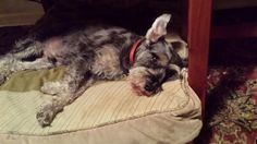 Helping Lost Pets | Dog - Schnauzer Miniature - Back Home