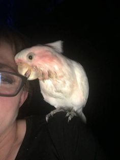 LOST MAJOR MITCHELL COCKATOO: 18/12/2016 - Nairne, South Australia, SA, Australia. Ref#: L27750 - #ParrotAlert #LostBird #LostParrot #MissingBird #MissingParrot #LostMajorMitchellCockatoo #MissingMajorMitchellCockatoo