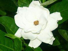 fleurs tahiti | Le Taina est une trés jolie fleur blanche à l'odeur plus discrète .
