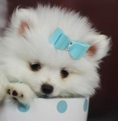 Teacup pomeranians, find Teacup pomeranian puppies on our website. Our pomeranian puppies and dogs are amazing and super small. we ship our teacup pomeranians Pomeranian Facts, Teacup Pomeranian, Pomeranian Puppy, Small Pomeranian, Teacup Puppies, Yorkie Dogs, Save A Dog, Getting A Puppy, Lap Dogs
