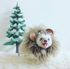 due to racial habits; Pygmy Hedgehog, Baby Hedgehog, Cute Baby Animals, Animals And Pets, Funny Animals, Cute Creatures, Funny Animal Pictures, Funny Cute, Animals Beautiful