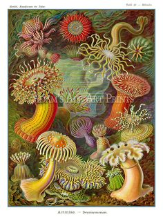 Ernst Haeckel Sea Anemone Art Print Ethereal by AdamsAleArtPrints