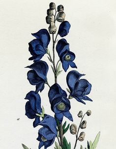 Botanical engraving of Monkshood (aconitum), 1839.