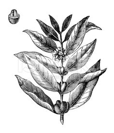 Antique illustration of coffee tree royalty-free stock illustration
