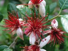 PINEAPPLE GUAVA aka Feijoa sellowiana  has incredibly exotic flowers that are perfectly edible. Plant in sun in zones 8-10.