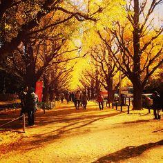 紅葉並木に黄色の絨毯 #明治神宮外苑 #紅葉 #fall