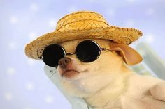 Why is this Chihuahua wearing a straw hat and sunglass!es? He's part of the 2014 calendar pin-up pups featuring dogs in hats