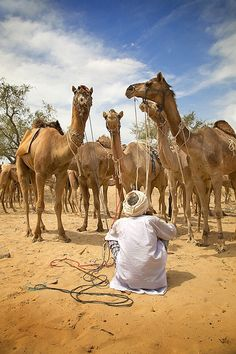 Camels for sale at Pushkar (Rajasthan) cattle fair Jaisalmer, Udaipur, Desert Life, Desert Days, Deserts Of The World, Amazing India, North India, Largest Countries, Rajasthan India