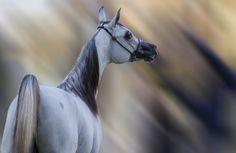 The Arabian Horse II -