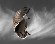 Hover with Cirrus Clouds, Heermanns Gull, Limited Edition Photography Bird Art Print, 11 x 14, Fine Art Photography