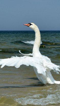 Water fowl - Swan flight.