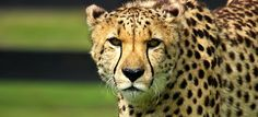 Tourists traveling in the Cape Town area of South Africa often make the scenic drive through wine country, which is where Cheetah Outreach is located. Founded in 1997 by Annie Beckhelling, Cheetah Out Cheetah Face, Cat Makeup, Cheetahs, Wine Country, Big Cats, Animal Kingdom, Animals Beautiful, Mammals, Safari