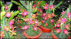 Tanaman buah naga berbuah lebat di dalam pot. Luar biasa bukan? http://mediatani.com/10-buah-buahan-sehat-kaya-manfaat-yang-mudah-ditemukan/