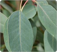 Eucalyptus, indications, posologie, historique, recherches, précautions, interactions.