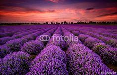 """Laden Sie das lizenzfreie Foto """"Stunning landscape with lavender field at sunset"""" von jessivanova zum günstigen Preis auf Fotolia.com herunter. Stöbern Sie in unserer Bilddatenbank und finden Sie schnell das perfekte Stockfoto für Ihr Marketing-Projekt!"""