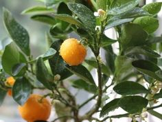 Calamondin Tree Care: How To Grow Calamondin Citrus Trees