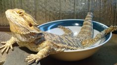 This is my Bearded Dragon, Evelyn Rose.  She is just hanging out after she had her lunch :)