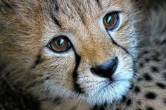 This is a face you need to see in person! #cheetahs get #wildlyconnected