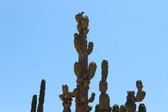 Los Cabos: Desert Exploration. Driving through the desert, the most noticeable vegetation are these towering cacti that grow to thirty feet with great branching stems from the trunk. The biggest and oldest of these were here before the Spanish explorers first entered the Baja Peninsula.