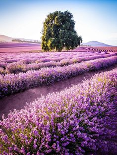 Bridestowe Lavender Farm /Tasmania Road Trip Itinerary for Photographers and Outdoor Lovers Tasmania Road Trip, Tasmania Travel, Brisbane, Melbourne, Places To Travel, Places To See, Nature Photography, Travel Photography, Photography Tips