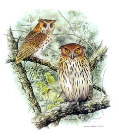 giant scops owl and philippine eagle owl