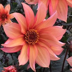 Buy miscellaneous dahlia tuber Dahlia 'Waltzing Mathilda': Delivery by Crocus