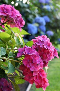 https://flic.kr/p/53kYGA | pink hydrangea | My pink hydrangea has never looked as good as it does this year.  The hot/windy/rainy weather of last week didn't hurt either of my hydrangeas as they are sheltered under my side deck.  It gets so hot here in the summers that they need to be sheltered, but boy, I would just love to be able to see them out my kitchen or front windows!