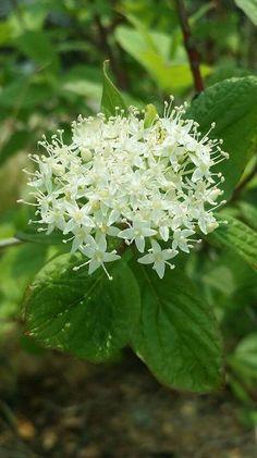 흰말채나무꽃