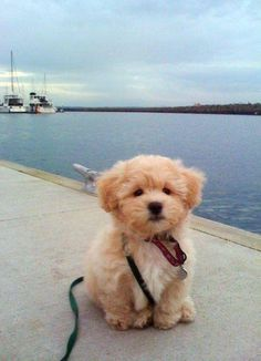 goldendoodle puppy so adorable and maybe doesn't shed!