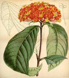 Curtis's Botanical Magazine, vol. 73 [ser. 3, vol. 3]: t. 4325 (1847) [W.H. Fitch]