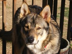 Tamaskan puppies | tamaskan dog |pups for sale | puppies for sale | Pets